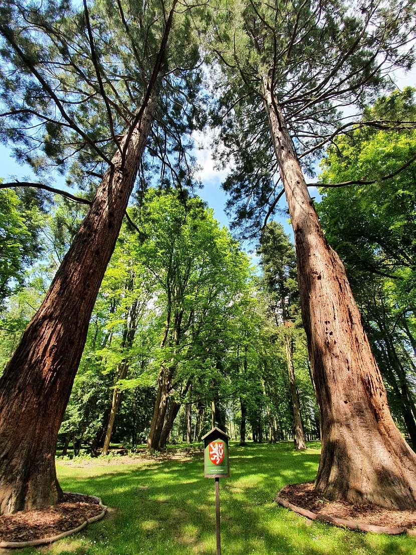 Tyto 2 sekvoje v ratměřickém zámeckém parku jsou nejvyššími stromy v ČR.