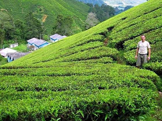 Čajové plantáže v Cameron Highlands