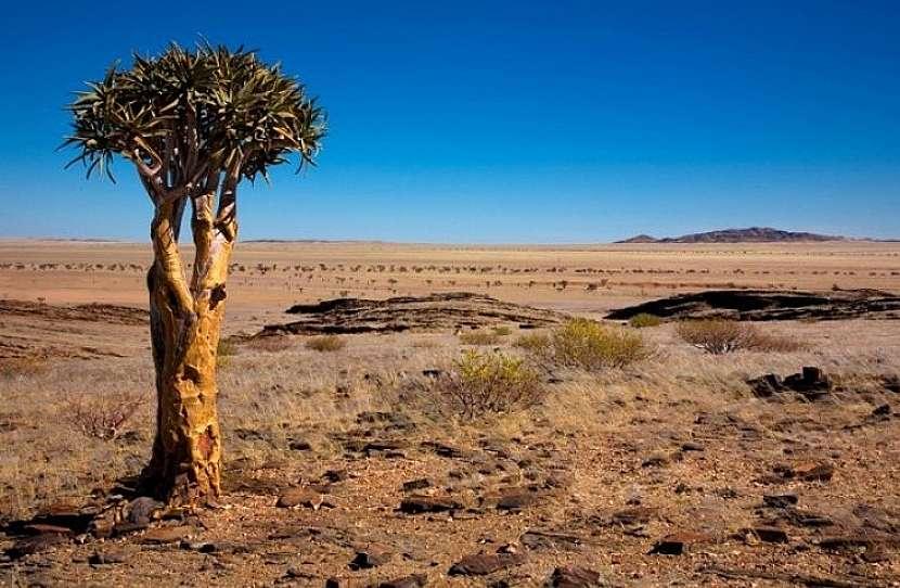 Tulcové stromy Kokerboom