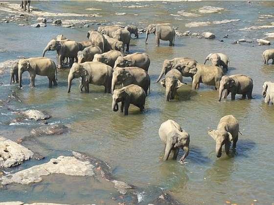 Sloní sirotčinec v Pinnawala